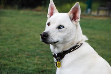 Outdoor portrait of a white mixed breed dog with one blue eye and one brown eye.