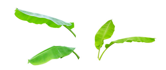 Three green banana leaf isolated on white background with clipping path.