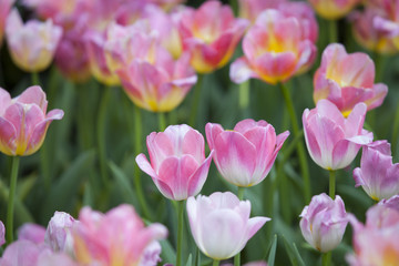 Amazing view of colorful tulips flowering in the garden