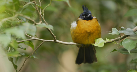 Black crested yellow bulbul