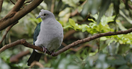 Grey bird with green wing on tree bark