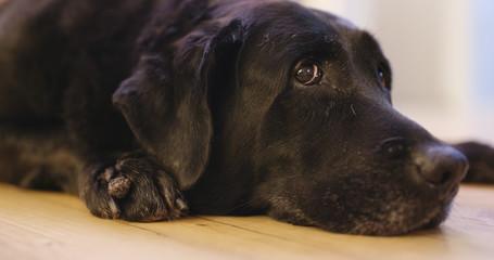 Black Labrador Retriever lying down on floor