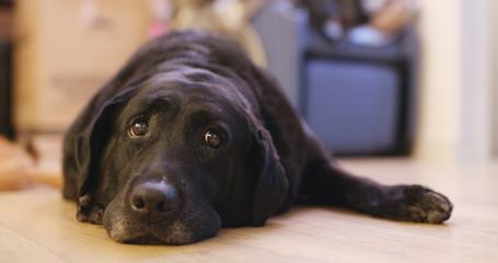 Black Labrador Retriever at home