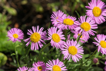 purple aster in the summer