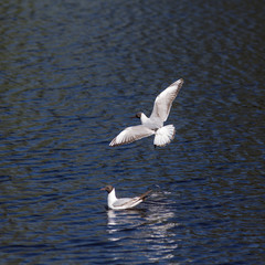 floating and flying gull