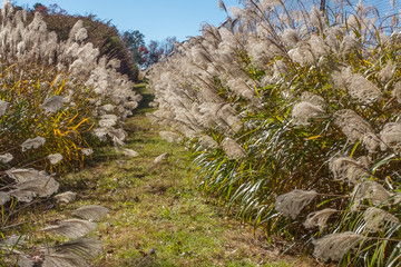 A hidden path between rows of pampas grass on the property of Barber Motorsports Park in Birmingham, Alabama, USA