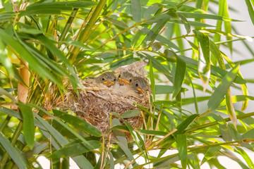 oisillons au nid dans les bambous, Zosterops Borbonicus, île de la Réunion