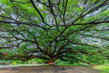 Rain tree (Monkey pod) The big tree about one hundred years old.