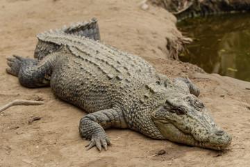 Poster Crocodile Hartley's Crocodile Adventures
