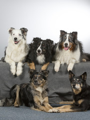 Group of dogs in a studio. Australian shepherd dogs. Image taken in a studio with white background.