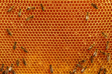 Fragmen of a honey honeycomb with bees and fresh honey. Natural honey.