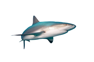Caribbean Reef Shark isolated on white background