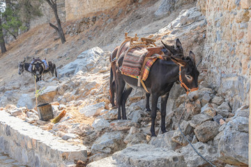 famous donkeys from Lindos, Rhodes Island, Greece