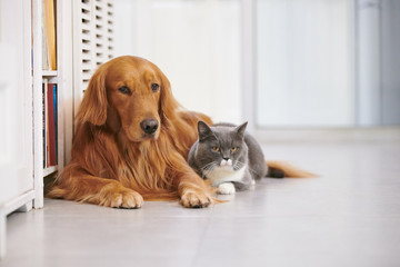 Golden retriever and British short cat