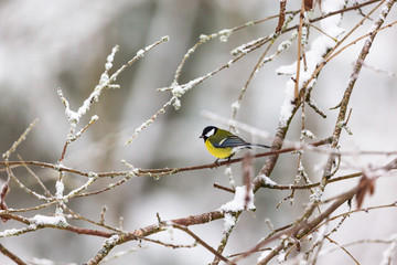 Great tit on a branch with frost