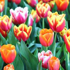 Acrylic Prints Tulip Orange Tulips