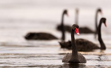 Foto op Canvas Zwaan Black swans