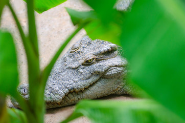 crocodile behind green leaves