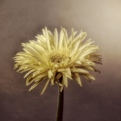 Yellow gerbera, textured background