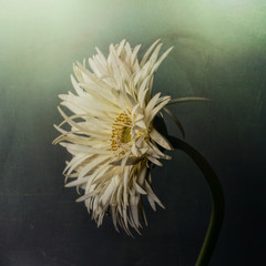 White gerbera, textured background