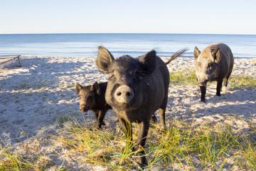 Wild pigs family posing on sea beach sands