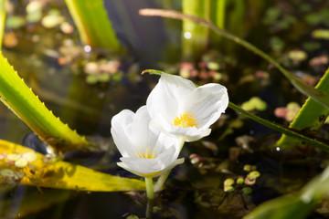 Rare water plant Hydrocharis morsus-ranae, Common frogbit.