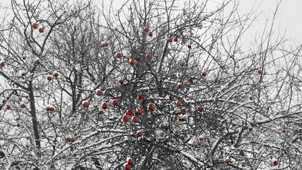 Snowy apple tree in winter