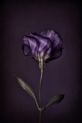 Lisianthus, purple