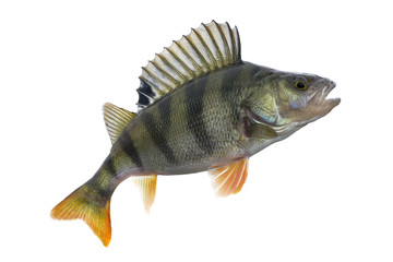 Perch fish trophy isolated on white background. Perca fluviatilis
