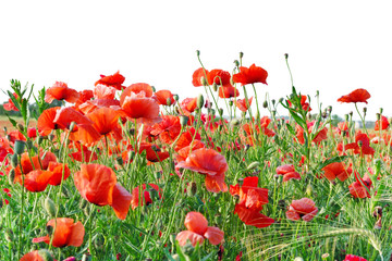 Wall Mural - Red poppies isolated on white background  for project