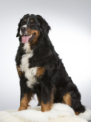 Bernese mountain dog in a studio. Image taken with white background. Big and beautiful dog.