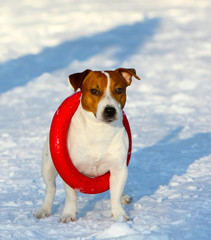 Jack Russell Terrier posing with a puller dressed on his neck. A white dog with a red head is standing on the snow. Funny puppy plays in the winter on the street. Vertical image.