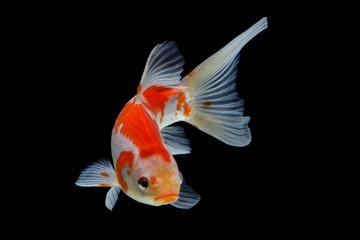 Koi fish Red and white