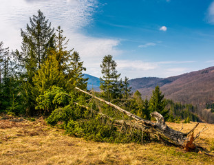 fallen spruce tree on forested hills in springtime. poor scenery after winter storms