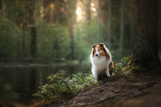 Sheltie dog in the forest