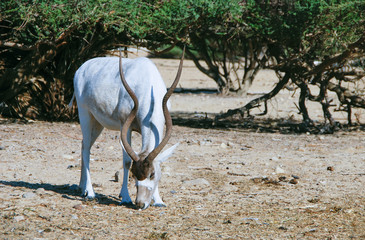 Curved horned antelope Addax (Addax nasomaculatus)  is a wild native species of the Sahara desert. Nowadays it inhabits nature reserve near Eilat, Israel