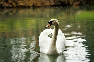 White swan portrait.