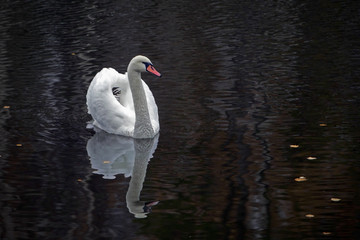 graceful white Swan swimming in the lake