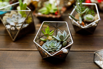 Succulent in the geometry glass terrarium