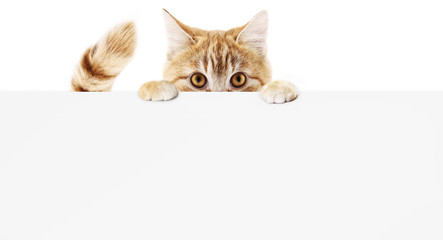 Spoed Fotobehang Kat funny pet cat showing a placard isolated on white background blank web banner template and copy space