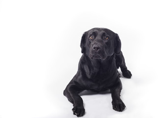 Black labrador retriever on white board
