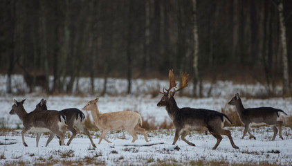 "Fallow deers run in ""Krasny Bor"" natural complex in a forest near the village of Dobroplesy"