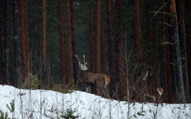 "Deers are seen in ""Krasny Bor"" natural complex in a forest near the village of Dobroplesy"