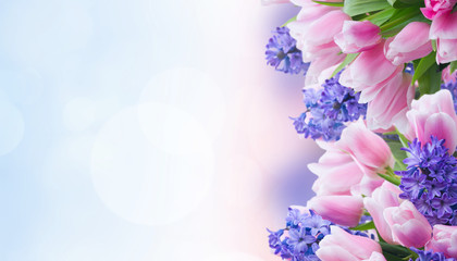 Pink tulips and blue hyacinths flowers over garden bokeh background banner