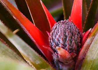 Baby Kona Sugarloaf Pineapple Fototapete