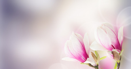 Fresh pink magnolia tree flowers against bokeh background banner