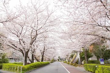 国立オリンピック記念青少年総合センターの桜並木