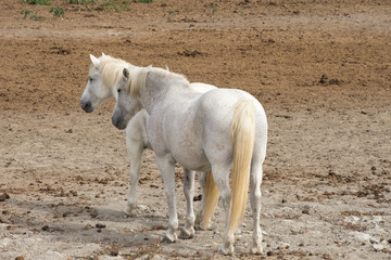 A Pair of Camargue Horses Standing in a Bare Field. They are standing side by side with their backs to the camera.
