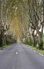 Plane Trees Lining a Country Road in rural France. The leaves are changing colors in autumn.