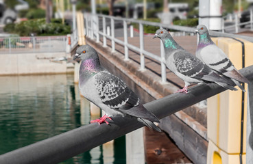 Three gray rock pigeons perched on metal handrail. Shallow depth of field.